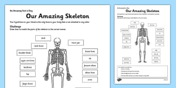 Our Amazing Skeleton Activity Sheet - skeleton, label, fact of the day, activity, worksheet