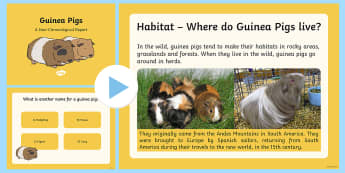 Information Report on Guinea Pigs PowerPoint - information report, non-fiction text, reports, report writing, locating information, year 2, year 3,