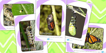 Life Cycle of a Butterfly Display Photo Pack - lifecycle, display