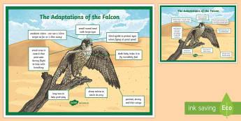Falcon Adaptation A4 Display Poster - Science, UAE, animals, living, world, Arabian, leopard, camel, falcon, oryx, saluki, lizard, sand, m