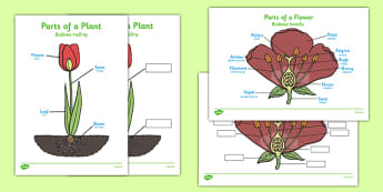 Parts of a Plant Polish Translation - polish, Foundation stage, Plant, Growth, Topic, Flower, knowledge and understanding of the world, investigation, living things, labelling, labelling plant