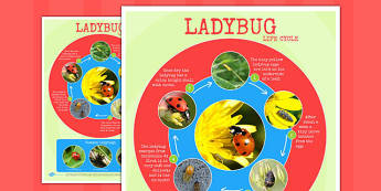 Ladybug Life Cycle Photo Large Display Poster - ladybug, cycle