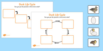 Duck Life Cycle Worksheets - duck, life cycle, cycle, worksheets
