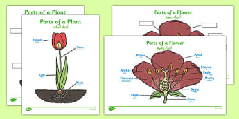Parts of a Plant Arabic Translation - arabic, Foundation stage, Plant, Growth, Topic, Flower, knowledge and understanding of the world, investigation, living things, labelling, labelling plant