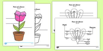 Parts of a Plant and Flower Labelling Worksheet Arabic Translation - arabic, parts of a flower, parts of a plant, parts of a flower labelling worksheet, flower parts worksheet