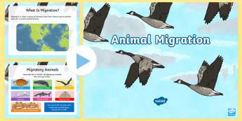 Animal Migration PowerPoint - ACSSU043, adaptation, adapt, hibernate, monarch butterfly, geese, salmon, Australia