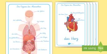 Die Organe des Menschen Poster für die Klassenraumgestaltung - Die Organe des Menschen Wortschatz mit Bildern Poster für die Klassenraumgestaltung, Die Organe des