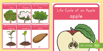 Life Cycle of an Apple Display Posters - Apple, Apples, Fall, Life Cycle of an apple, apple life cycle, apple activities