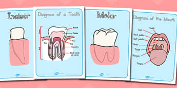 Teeth Diagram Display Posters - australia, teeth, diagram, poster