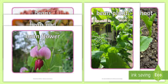 Life Cycle of a Broad Bean Display Photos - Bean, growth, plant, life cycle, lifecycle, display, photo, display Photos, display, photos, banner, poster, plant growth, beans, garden, Topic, Foundation stage, knowledge and understanding of the world, i