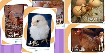 Life Cycle of a Hen Display Photo Pack - life cycles, photos