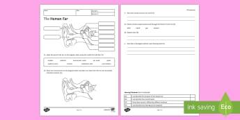 The Human Ear Homework Activity Sheet - Homework, structure of ear, function of ear, human ear, how we hear, worksheet, hearing, sound, vibr