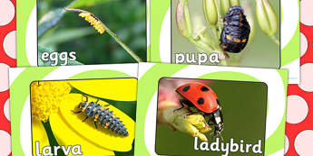 Ladybird Life Cycle Display Photos - Ladybird, life cycle, Minibeasts, display photos, photo,  knowledge and understanding of the world, investigation, living things, snail, bee, ladybird, butterfly, spider