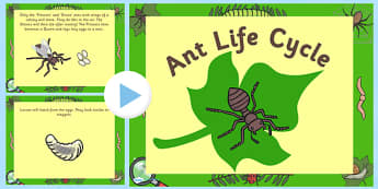 Ant Life Cycle PowerPoint - life cycle, life cycle of an ant, minibeast life cycle, life cycle powerpoint, life cycle video, ant powerpoint, minibeasts