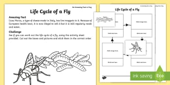 The Life Cycle of a Fly Activity Sheet - july amazing fact, KS1, larvae, minibeasts, order, worksheet