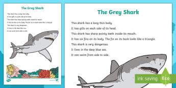 The Grey Shark Factual Description Writing Sample  - Literacy, The Grey Shark Factual Description  Writing Sample, writing, text types, types of text, en
