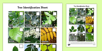 Tree Identification Photo Sheet - tree, identification, photo sheet, photo, sheet, tree identification, activity
