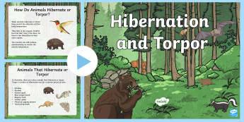 Hibernation and Torpor PowerPoint - ACSSU043, adapt, adaptation, bear, animal sleep, winter, animal survival,Australia