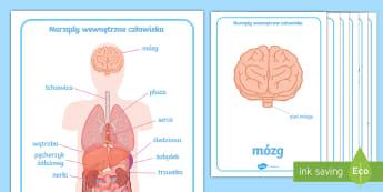 Plakaty Narządy wewnętrzne człowieka - biologia, przyroda, anatomia, człowiek, budowa, narządy, wewnętrzne, człowieka, nerka, nerki, p