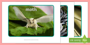 Silkworm Display Photos - silkworms, Australia, life cycle, mulberry, mini beasts, display, photos, order, change,Australia