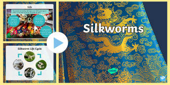 3-6 Silkworm PowerPoint - silkworms, Australia, life cycle, mulberry, mini beasts, information, ,Australia