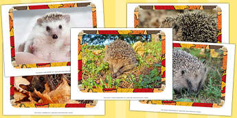 Hedgehog Photo Pack - hedgehog, photo, pack, photo pack, animals