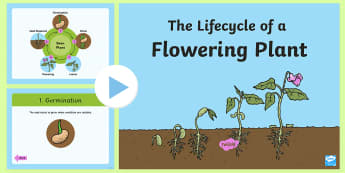 Life cycle of a Plant Powerpoint - - life cycle of a plant, sunlight, light, water, soil, seed, flower, plant, root, shoot,