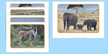 Ffotograffau Anifeiliaid Affrica Posteri Arddangos - Dysgu Cymraeg fel Ail Iaith, cyfnod sylfaen, anifeiliaid, Affrica, Sypreis Handa, Sypreis Affrica, a