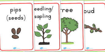 Apple Tree Life Cycle Growth Posters - life cycles, display