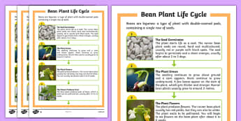 Bean Plant Life Cycle Differentiated Fact File