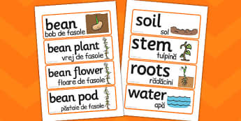 Life Cycle of a Bean Word Cards Romanian Translation - romanian