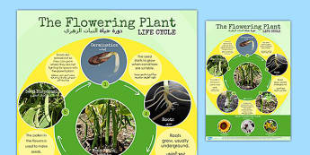 Flowering Plant Life Cycle Display Poster Arabic Translation - translation, science, KS2, nature, growth