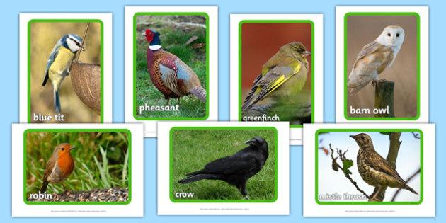 British Birds Display Photos - British birds, bird, UK, wildlife, robin, chaffinch, sparrow, house martin, seagull, duck