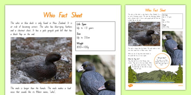 New Zealand Native Birds Whio Fact Sheet - nz, new zealand, Native, birds, animals