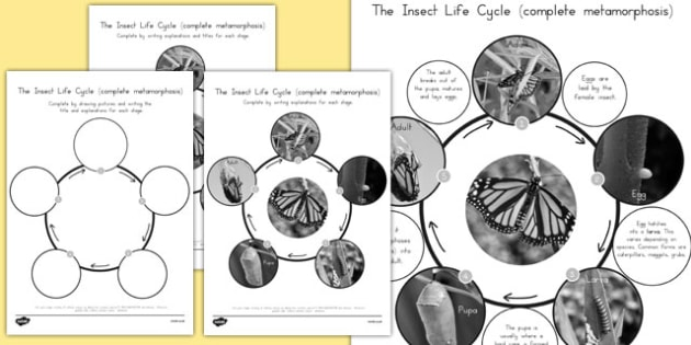 Complete Metamorphosis Insect Life Cycle - science, animals, KS2, minibeasts, baby, grow, growth