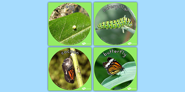 Butterfly Life Cycle Display Photo Cut Outs - photos, minibeasts
