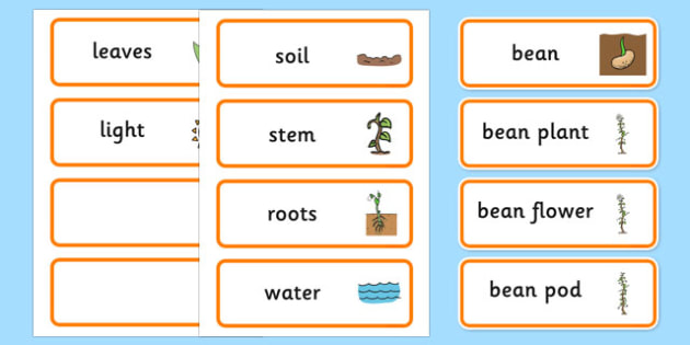Life Cycle of a Bean Word Cards - visual aid, keywords, lifecycle