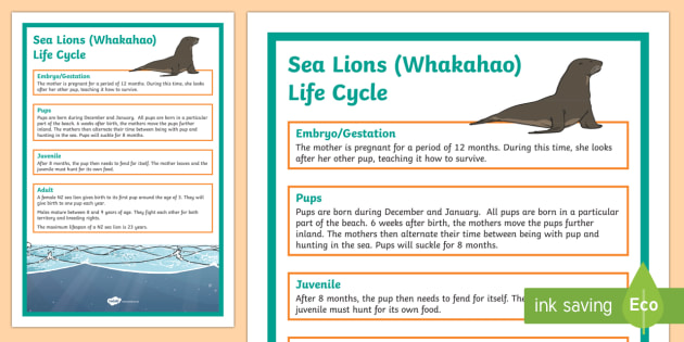 NZ Sea Lion Life Cycle Display Posters