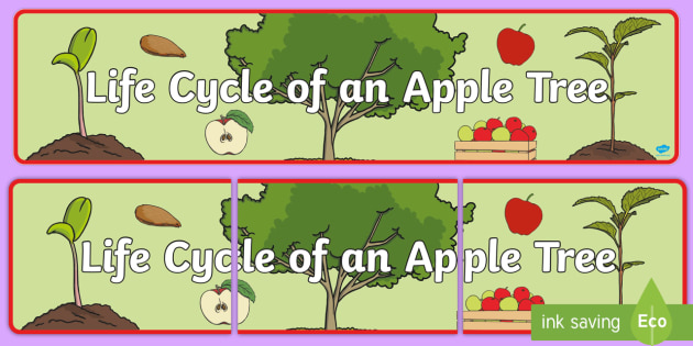 Apple Tree Life Cycle Display Banner - apple tree banner, life cycle of an apple tree banner, display, banner, display banner, apple tree life cycle banner