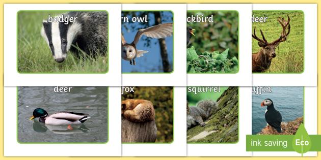 British Wildlife Display Photos - Display Posters, Wildlife,  A4, display, rabbit, fox, badger, squirrel, bird, robin, weasel