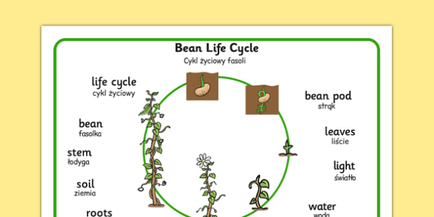Bean Growth Word Mat Polish Translation - polish, Bean, plants, word mat, plant lifecycle, Topic, Foundation stage, knowledge and understanding of the world, living things, plant growth