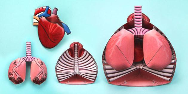 3D Circulatory System Paper Model - paper model, circulatory