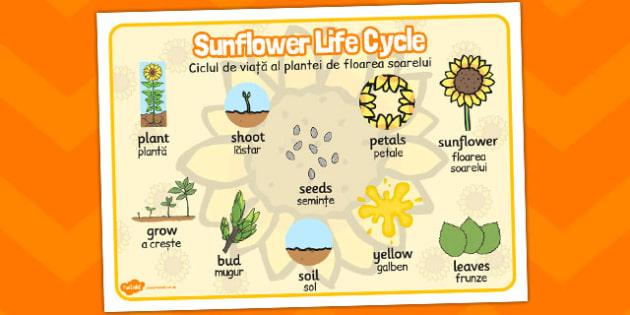 Sunflower Life Cycle Word Mat Romanian Translation - visual aid