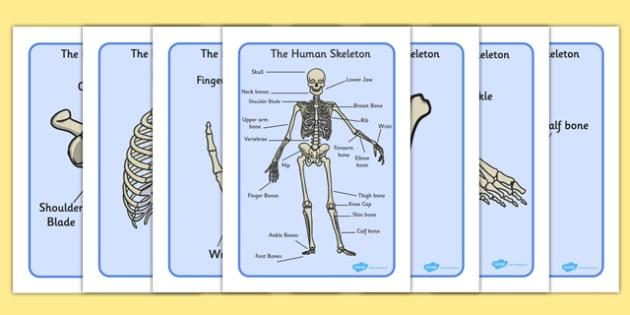 human skeleton display posters (common names) - my body, body, Skeleton