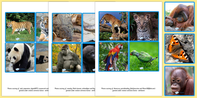 Jungle Animals and their Young Picture Matching Cards - jungle animals, animals, picture matching, matchng, matching cards, picture cards, matching activites