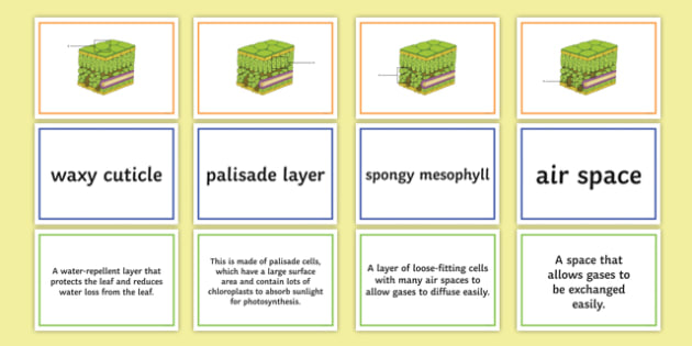 Leaf Structure and Function Find a Friend Card Sort