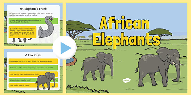Safari African Elephant Information PowerPoint - safari, on safari, safari powerpoint, african elephants, african elephant powerpoint, elephant powerpoint