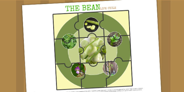 Life Cycle of a Bean Jigsaw - life cycles, cutouts, games, game