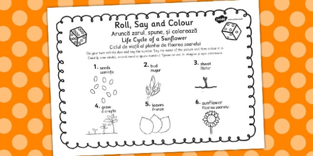 Sunflower Life Cycle Roll Say Colour Romanian Translation - colours
