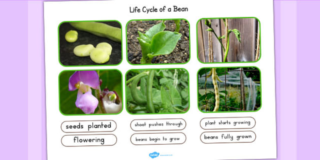 Life Cycle of a Bean Photo Cut Out Pack - lifecycle, photos